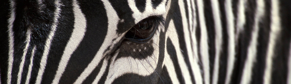 Edu-Eco Zebra Close-up